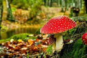 herfst-achtergrond-met-rode-paddenstoel-in-het-bos2